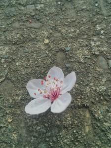 春ですね。可愛らしい桜の花見つけた〜