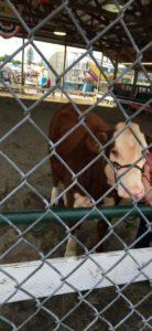 北海道の酪農学園大学で1日獣医さんプログラムに参加したことがあるので牛さん大好き